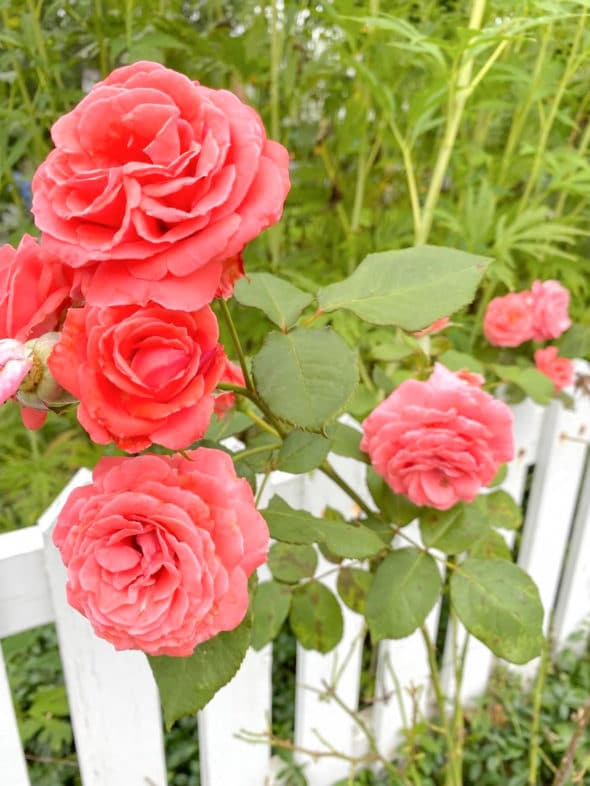 Memories of the summer: salmon colored roses